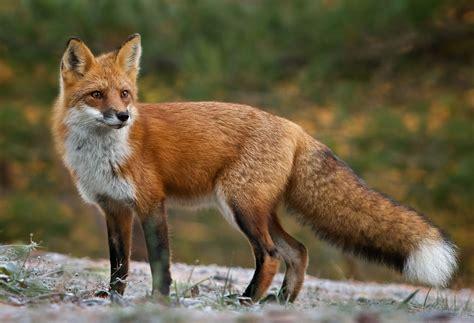 red fox photo credit missy mandel american red fox pet fox fox facts
