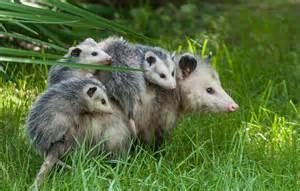 possum in my backyard people who look like animals tigerdroppings com
