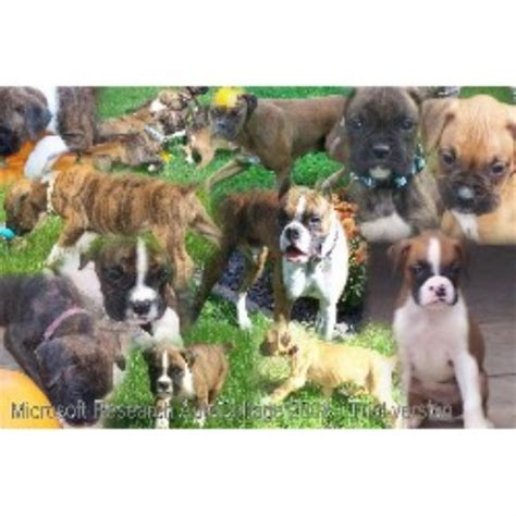 free puppies in wisconsin boxer breeders in wisconsin freedoglistings