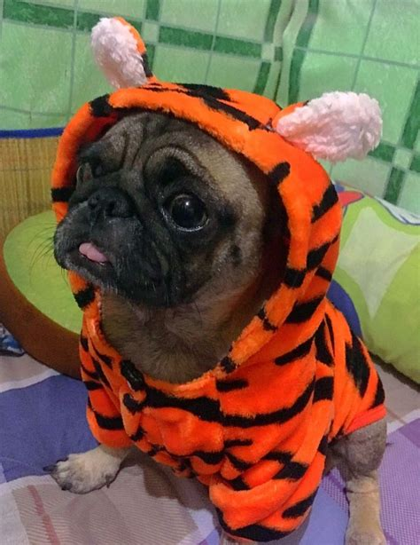 pug costumes for best 25 pugs in costume ideas only on pug costume pugs and a pug