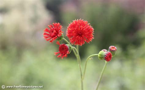 tassel flower pictures emilia coccinea pictures