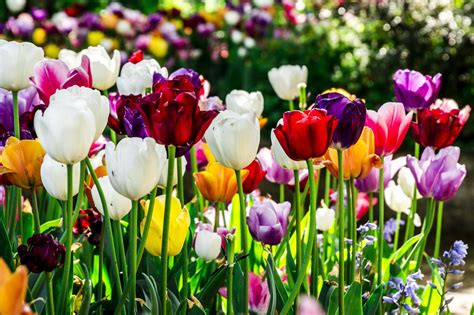 colors of tulips 30 tulips wallpapers hd pink yellow pictures