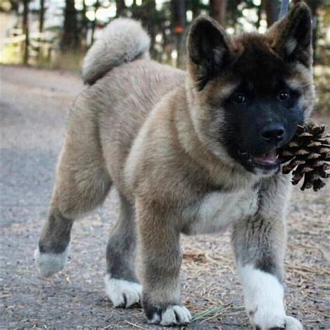 akita puppies colorado best 25 akita ideas on american akita american akita and akita