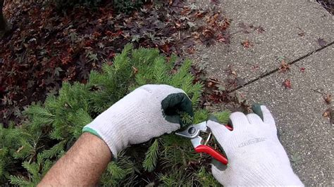 how to trim pomeranian how to prune a pom pom pine