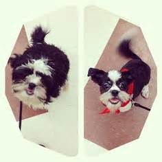 should you shave a shih poo beard or leave it long more shih tzus should get mohawks my dog has a mohawk and