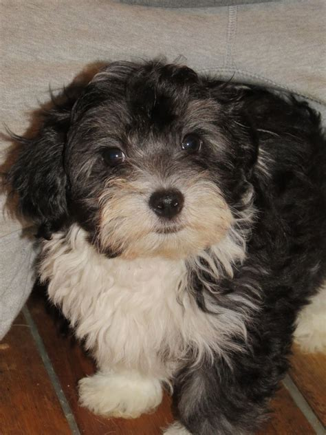 malshipoo puppies gorgeous home reared malshipoo puppy for sal reading berkshire pets4homes