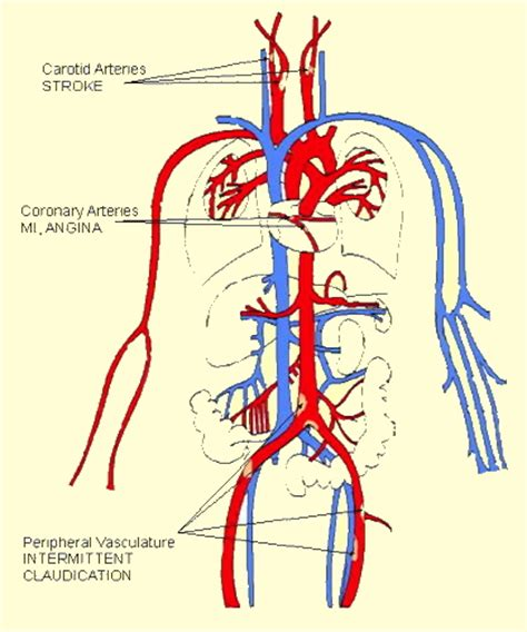 diagram of the arteries lest gompal human veins and arteries diagram