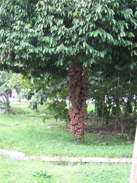 Tanaman Kepel by Burahol Kepel Pohon Nan Unik Dan Kian Langka
