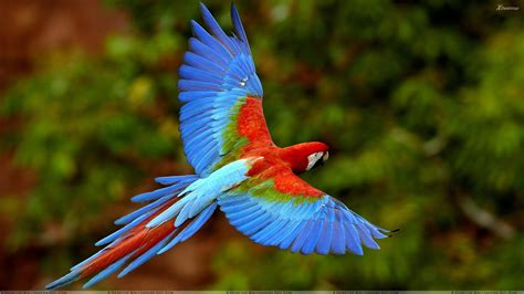 Beautiful Bird Flying Beautiful Blue Bird Flying In The Wild Wallpaper