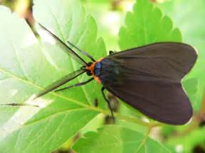 bug life cycles 187 ctenucha virginica virginia ctenucha moth