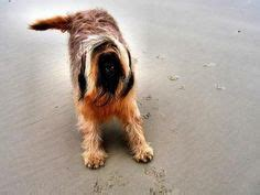 Do Briards Shed by 1000 Images About Briard On Photos