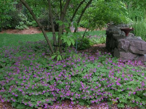 cranesbill geranium makes a great ground cover it does