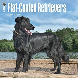 flatcoated retriever square 2018 flat coated retriever calendars