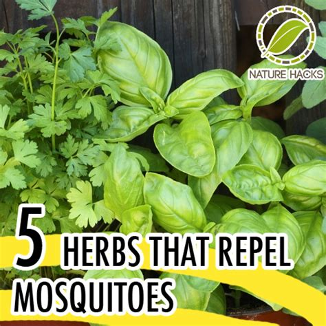 How To Keep Mosquitoes Away In Backyard Green Beginnings Five Herbs That Repel Mosquitos