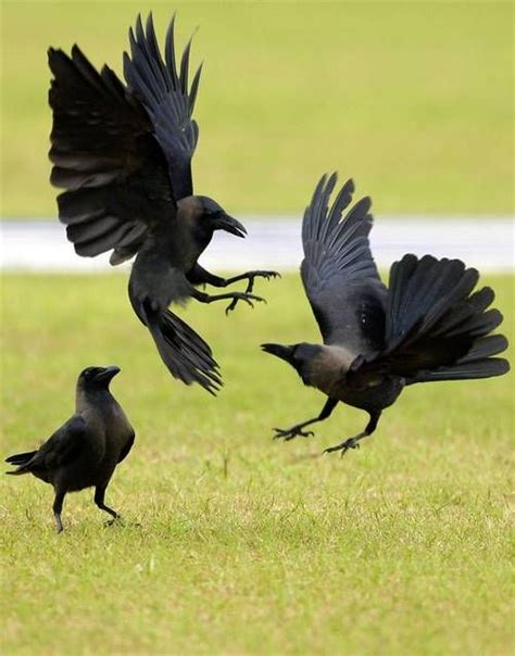 best 25 crows ideas on pinterest raven crow and ravens