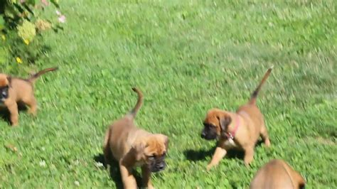 boxer puppies for sale ta boxer mix puppies for sale