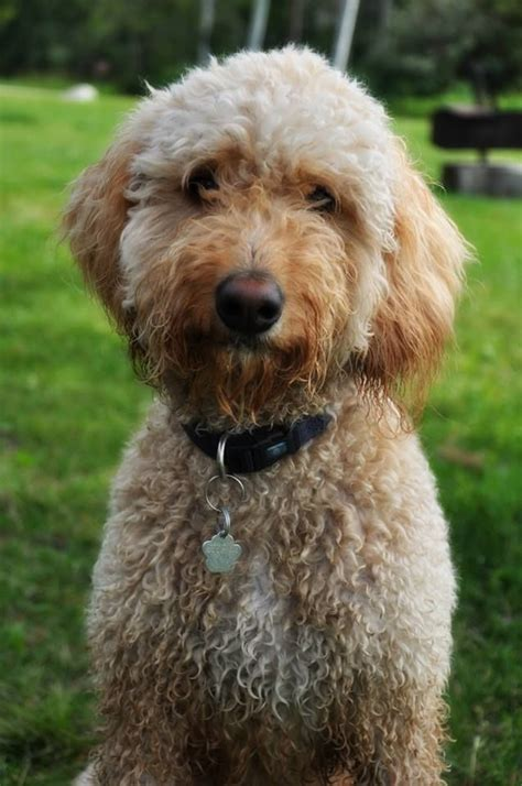 goldendoodle puppy phases 152 best images about f1b mini goldendoodles on