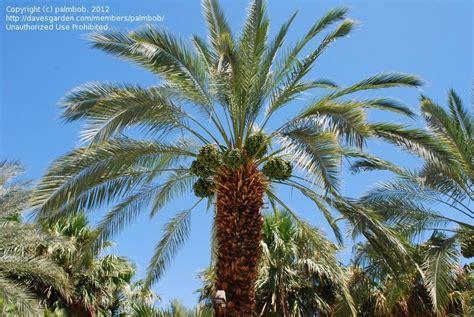 Palm Desert Botanical Gardens Plantfiles Pictures Date Palm Khadrawi Dactylifera By Palmbob