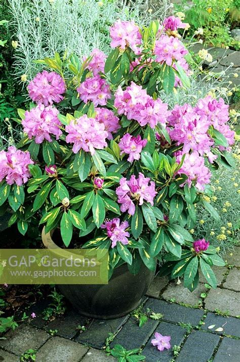 gap gardens variegated rhododendron goldflimmer growing in a frostproof glazed ceramic pot