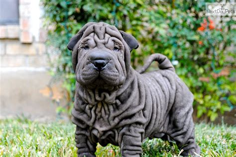 shar pei puppies for sale near me shar pei for sale for 1 200 near san antonio 65cf8007 f4a1