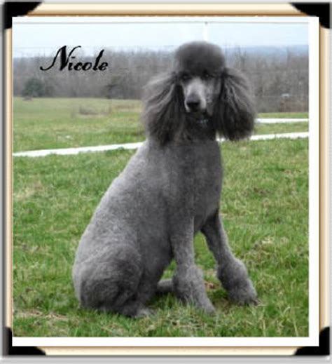 pug puppies for sale boise idaho standard poodle for placement autos post