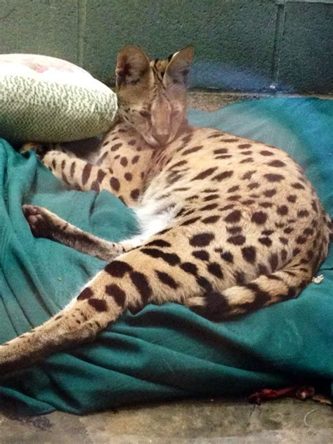 pet shops with puppies near me so reddit likes cats so here s a big one this is a serval that a pet store near me