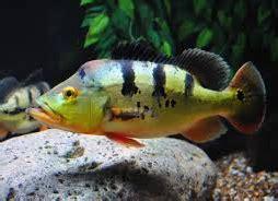 Pakan Hidup Ikan Predator jenis jenis ikan predator air tawar nama nama hewan