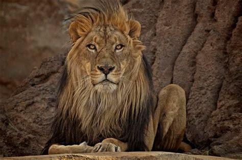 lion stare: devendra: galleries: digital photography