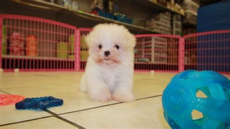 teacup maltese puppies for sale in ga teacup maltese puppies for sale in at puppies for sale local breeders