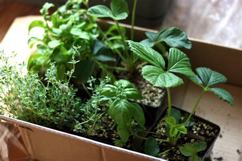 Windowsill Vegetable Garden Authentic Caesar Salad From A Windowsill Garden The