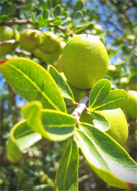 argan tree fruit about us 171 proarganics australia