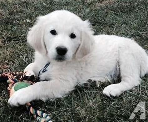 golden retriever puppies for sale oregon akc white golden retriever puppies for sale in dallas oregon classified