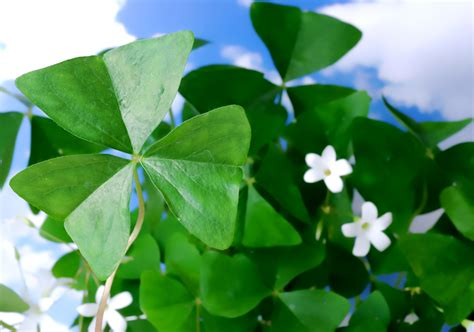 shamrock plant oxalis houseplant care tips houseplant411 com houseplant 411 how to