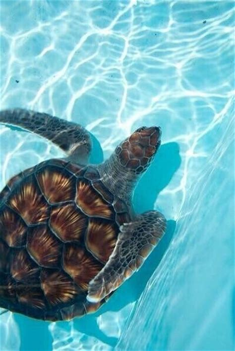 swimming sea turtle pictures   images  facebook tumblr pinterest  twitter