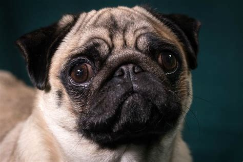 breathing problems in pugs scientists fail to identify way to breed pugs to be more healthy the i newspaper