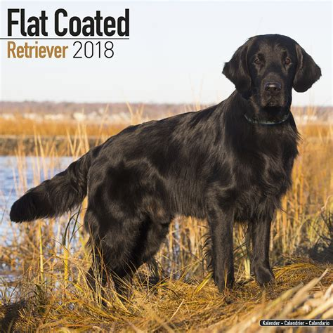 libro flatcoated retriever square flatcoated retriever calendar 2018 pet prints inc