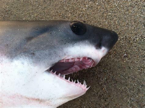 baby shark eyes shark rescued from sand at venice breakwater yo venice