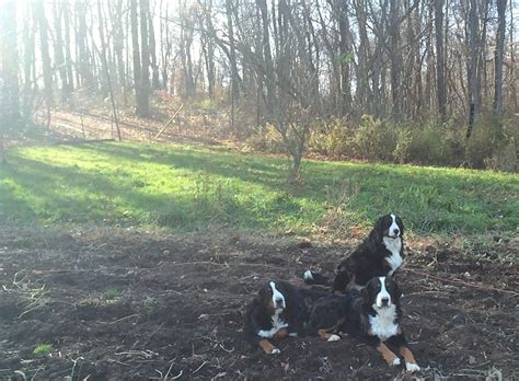 bernese mountain puppies for sale near aplington iowa akc marketplace bernese mountain puppies for sale near aplington iowa akc marketplace