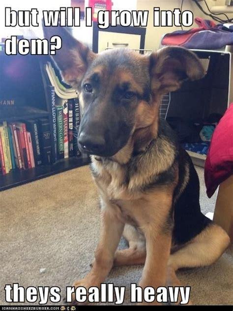puppy growth spurts 25 best ideas about german shepherd ears on shepherd puppies pupper