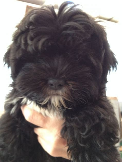 lhasa apso x yorkie puppies for sale lhasa apso x yorkie puppies norwich norfolk pets4homes