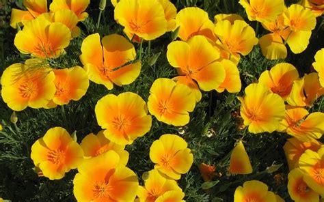 papavero fiore papavero significato significato fiori papavero