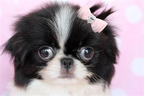 japanese chin puppies japanese chin photos doglers