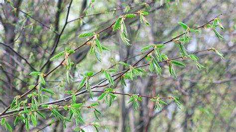 fiori di bach hornbeam floriterapia ecco i fiori di bach per alleviare la