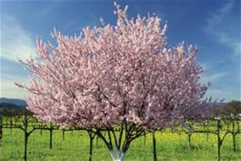 cherry tree utah best way to transplant fruit trees home guides sf gate