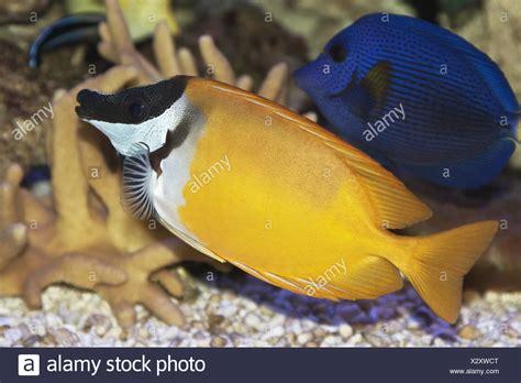 Rabbit Fish Images rabbitfish stock photos rabbitfish stock images alamy