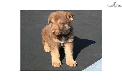 liver german shepherd puppies for sale german shepherd puppy for sale near tuscarawas co ohio 994c168f 5401