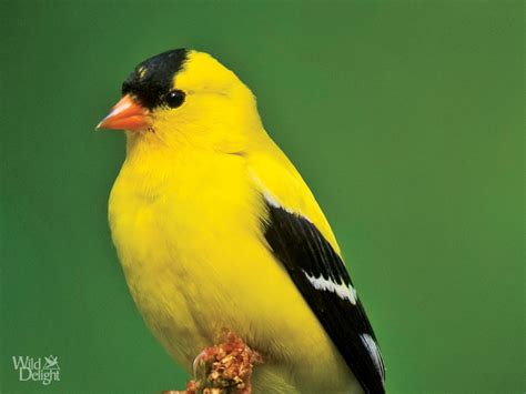 washington state bird facts american goldfinch delightwild delight