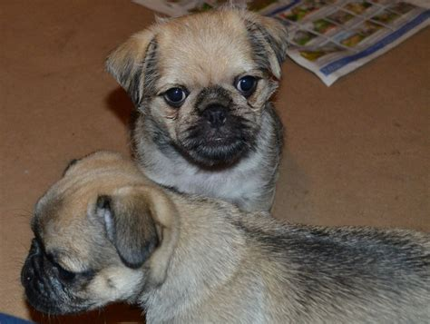 yorkie and pug mix puppies pug and yorkie mix breeds picture