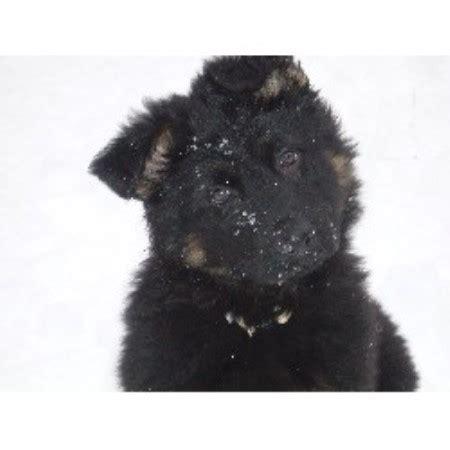 free puppies in mn minnesota k9 solutions german shepherd breeder in minneapolis minnesota listing