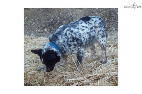 Queensland Blue by Miniature Queensland Blue Heeler Maledog Australian Cattle